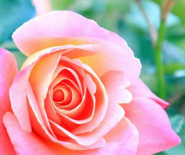 lovely roses bloom in yellows pinks and reds in our rose garden
