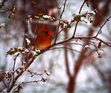 view robins in winter