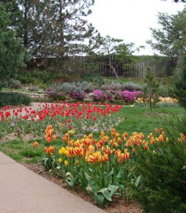 bright tulips are striped with red and yellow