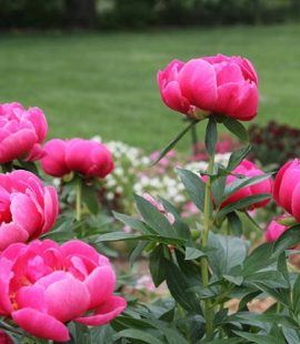 large ruffly pink blooms from peony flowers